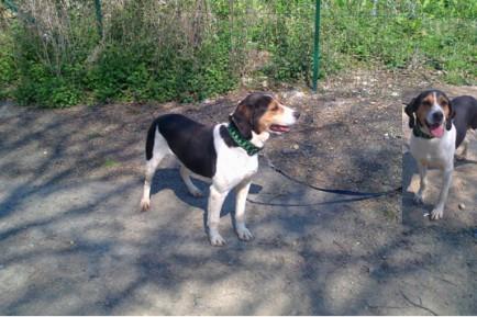 BALOU - beagle harrier 12 ans - Spa de la Mayenne à Laval (53) Balou1-4-434x289